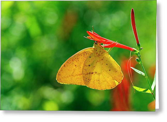 Large Orange Sulphur Greeting Card by Bill Morgenstern