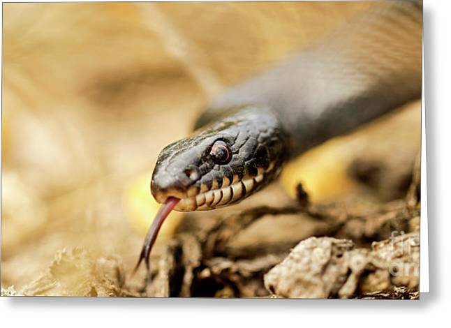 Large Whipsnake Coluber Jugularis Greeting Card by Alon Meir