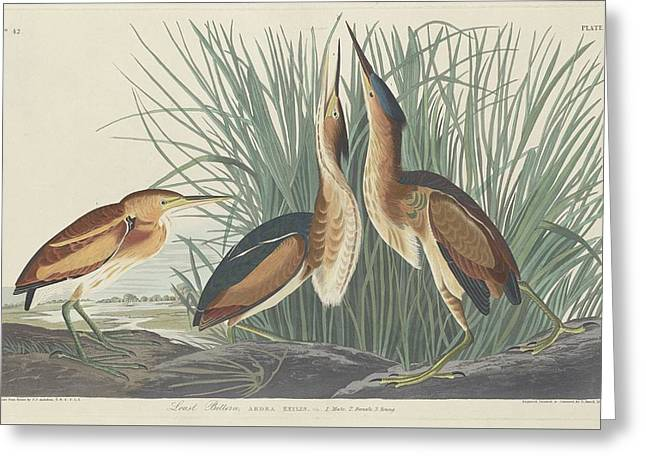 Shorebirds Greeting Cards - Least Bittern Greeting Card by John James Audubon