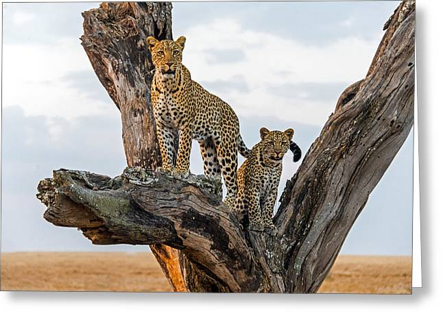 Leopard Panthera Pardus Family On Tree Greeting Card by Panoramic Images