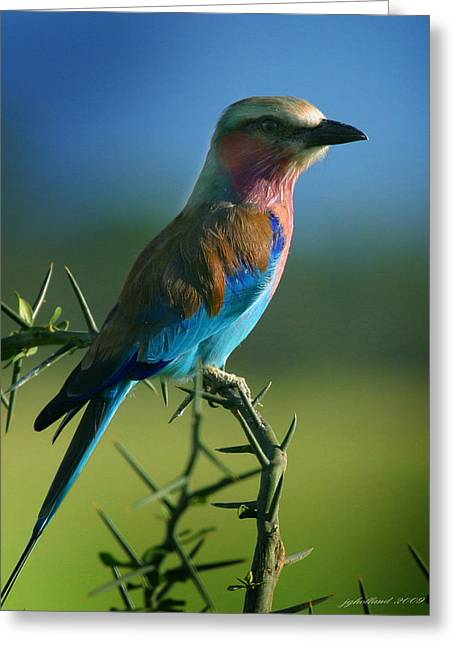 All Birds Greeting Cards - Lilac Breasted Roller Greeting Card by Joseph G Holland