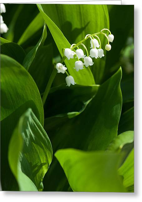 Day Lilly Greeting Cards - Lily of the valley flower Greeting Card by Igor Sinitsyn