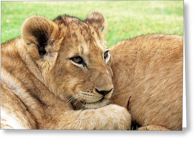 Lions Greeting Cards - Lion Greeting Card by FL collection