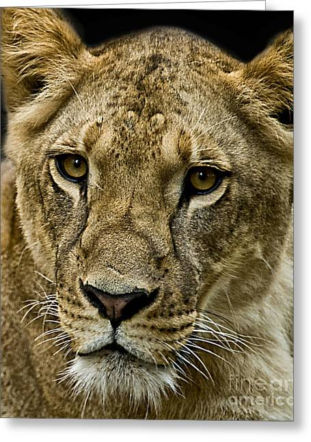 Lioness Greeting Cards - Lioness Greeting Card by Charuhas Images