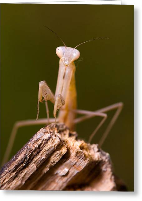 Mantodea Greeting Cards - Little Mantis Greeting Card by Andre Goncalves