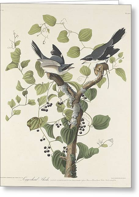 Logger Greeting Cards - Loggerhead Shrike Greeting Card by John James Audubon