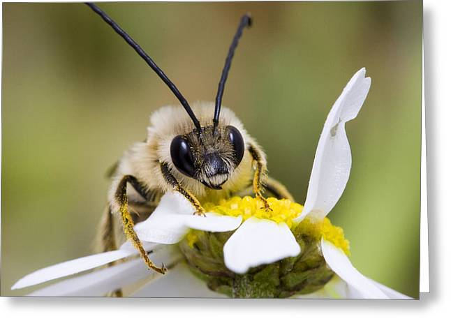 Beekeepers Greeting Cards - Long Horned Bee Greeting Card by Andre Goncalves