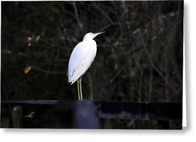 Hunting Bird Greeting Cards - Looking Greeting Card by David Lee Thompson