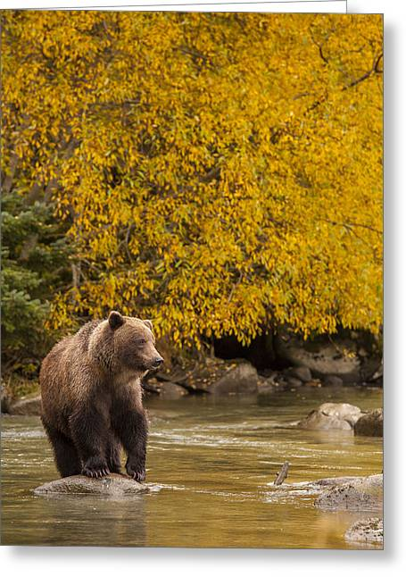 Alaska Panhandle Greeting Cards - Looking for an Autumn Meal Greeting Card by Tim Grams