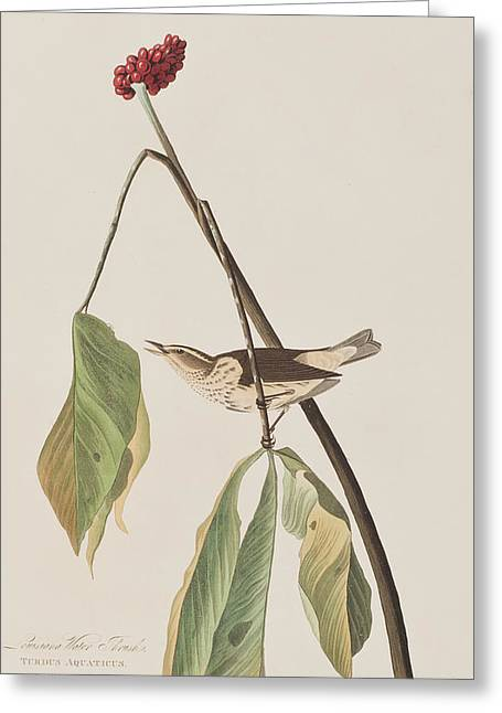Louisiana Water Thrush Greeting Card by John James Audubon