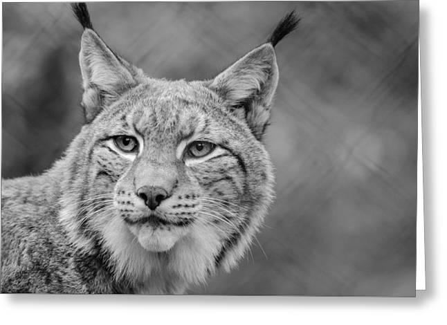 Lynx Greeting Card by Mountain Dreams
