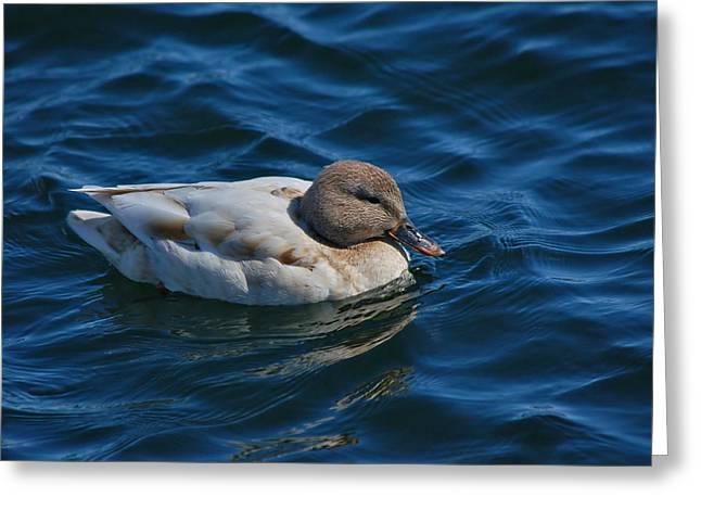 Aquatic Greeting Cards - Mallard Duck Greeting Card by Paul O