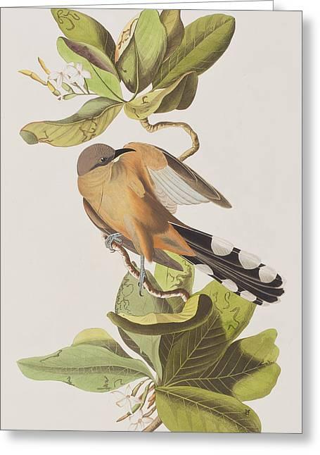Mangrove Greeting Cards - Mangrove Cuckoo Greeting Card by John James Audubon