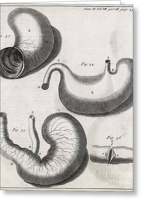 Philosophical Transactions Greeting Cards - Marmot Digestive System, 18th Century Greeting Card by Middle Temple Library