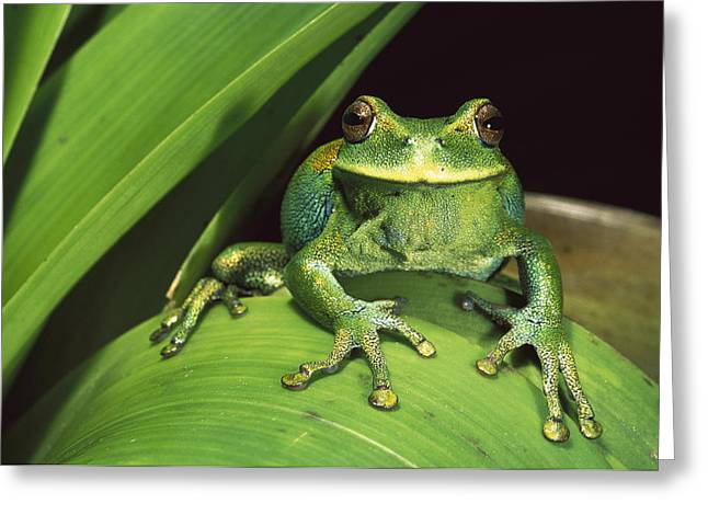 Emoting Greeting Cards - Marsupial Frog Gastrotheca Orophylax Greeting Card by Pete Oxford