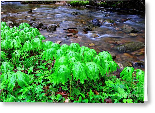 West Fork Greeting Cards - May-Apples and Middle Fork of Williams River Greeting Card by Thomas R Fletcher