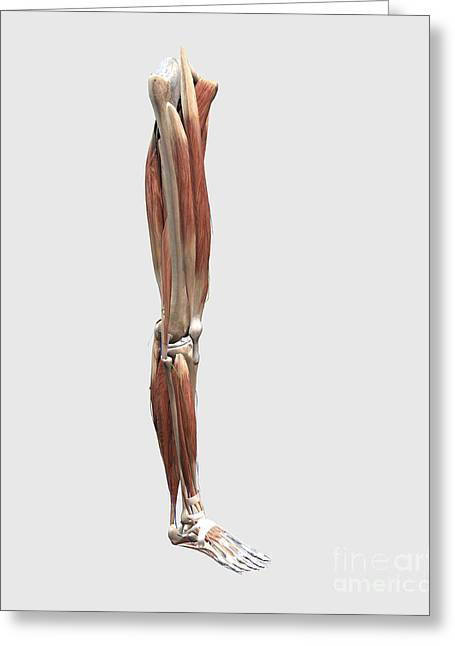 Human Joint Greeting Cards - Medical Illustration Of Human Leg Greeting Card by Stocktrek Images