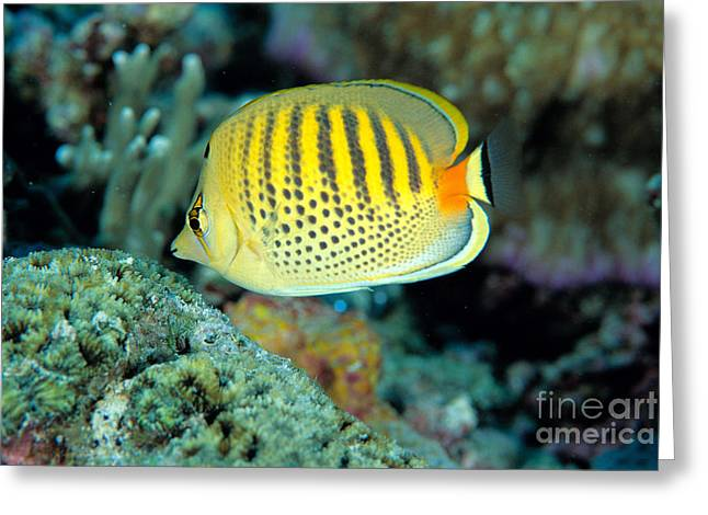 Ocean Art Photos Greeting Cards - Micronesia, Marine Life Greeting Card by Ed Robinson - Printscapes