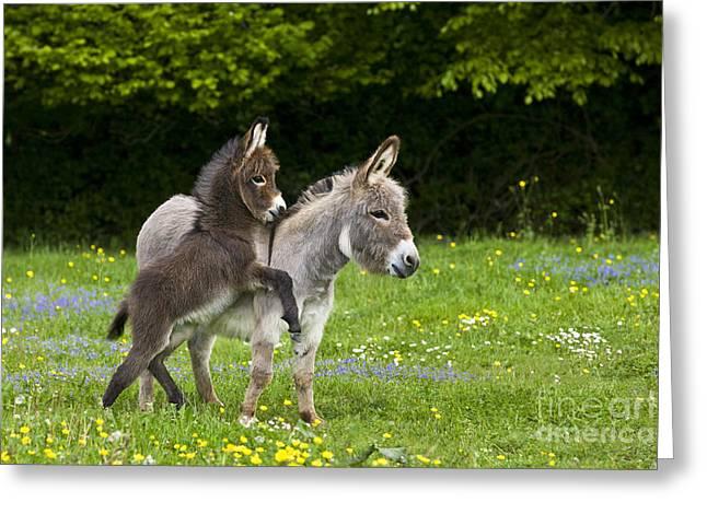 Spring Scenes Greeting Cards - Miniature Donkeys Greeting Card by Jean-Louis Klein & Marie-Luce Hubert