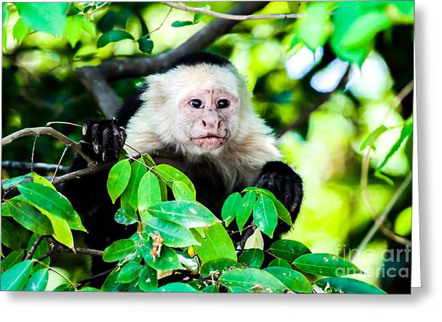 Head Pyrography Greeting Cards - White-headed capuchin monkey Greeting Card by Olga Photography