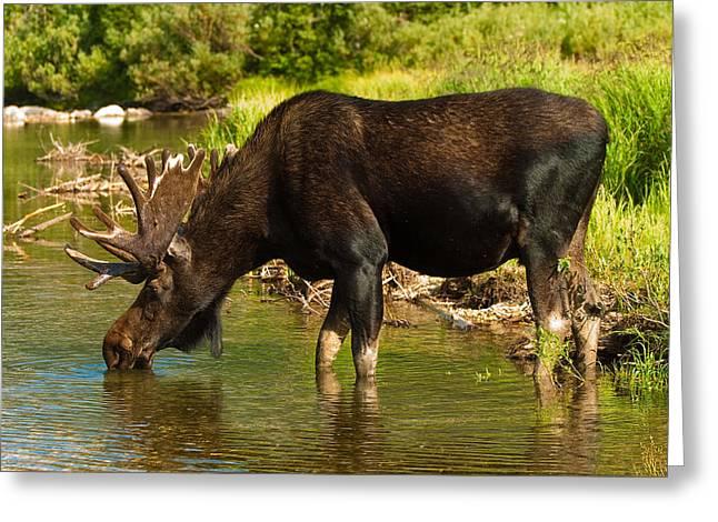 Bull Greeting Cards - Moose Greeting Card by Sebastian Musial
