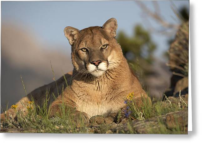 Puma Concolor Greeting Cards - Mountain Lion Portrait North America Greeting Card by Tim Fitzharris