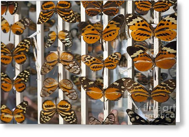 Bates Greeting Cards - Muller Butterfly Tiger Mimicry Complex 2 Greeting Card by Paul D. Stewart