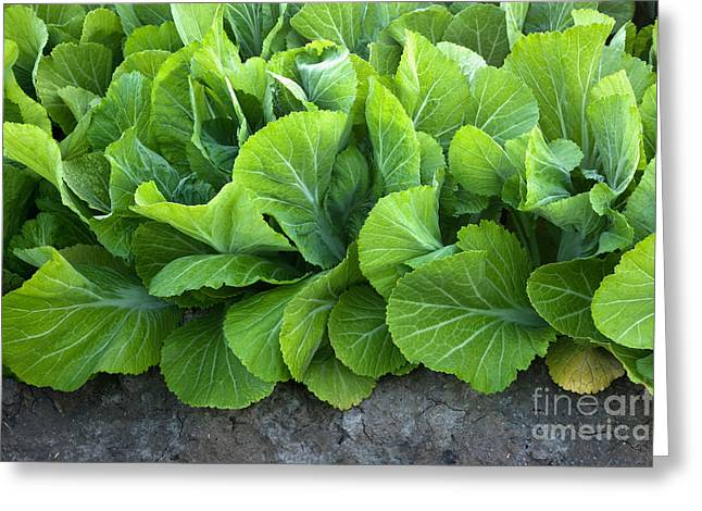 California Agriculture Greeting Cards - Mustard Greens Greeting Card by Inga Spence
