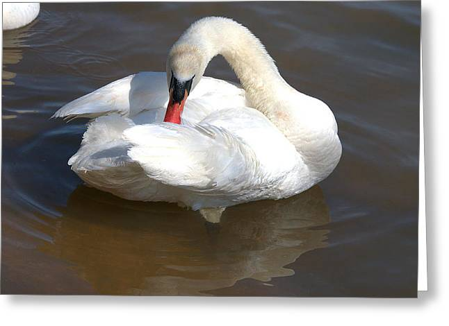 Hunting Bird Greeting Cards - Mute Swan Grooming In Shallow Water Greeting Card by Roy Williams