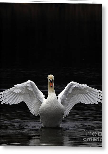 Stretching Wings Greeting Cards - Mute Swan stretching its wings Greeting Card by Urban Shooters