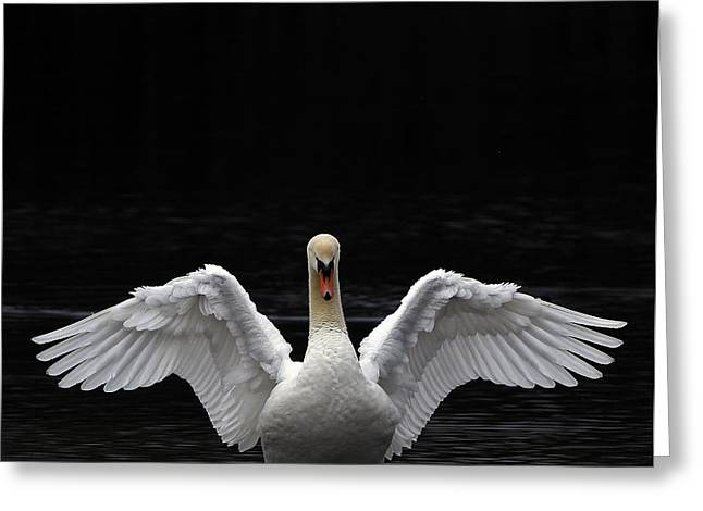 Mute Swan stretching it's wings Greeting Card by Urban Shooters