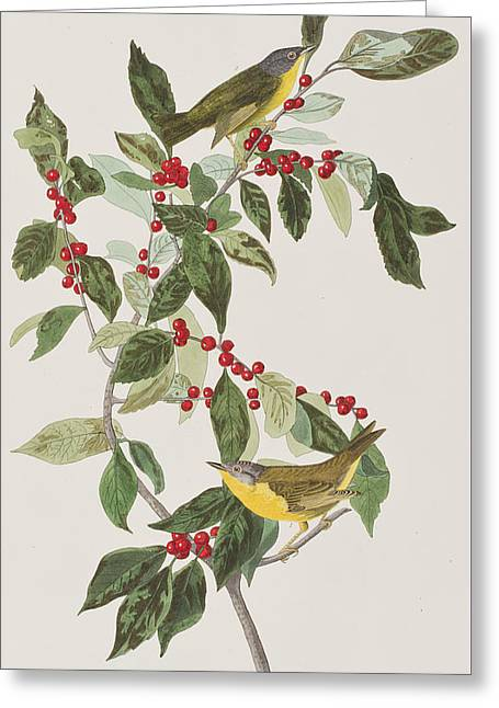 Nashville Drawings Greeting Cards - Nashville Warbler Greeting Card by John James Audubon