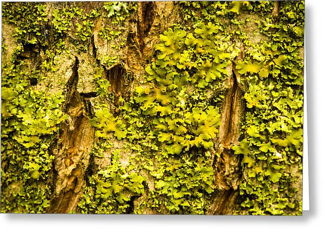 Lichen Photo Greeting Cards - Lichen on Tree Trunk Greeting Card by Donald  Erickson