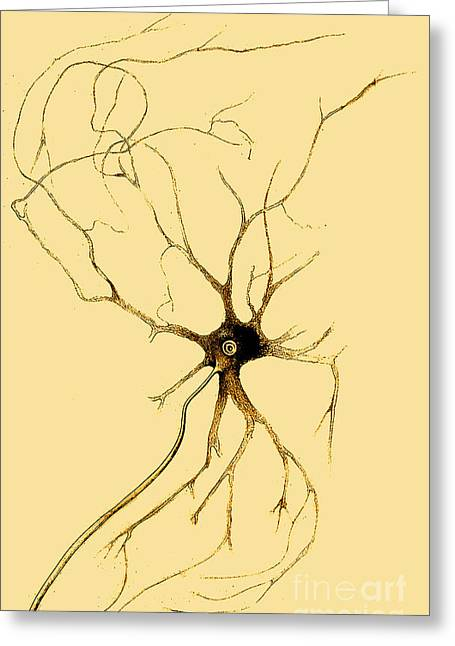 Microbiology Greeting Cards - Nerve Cell From Spinal Cord, Deiters Greeting Card by Science Source