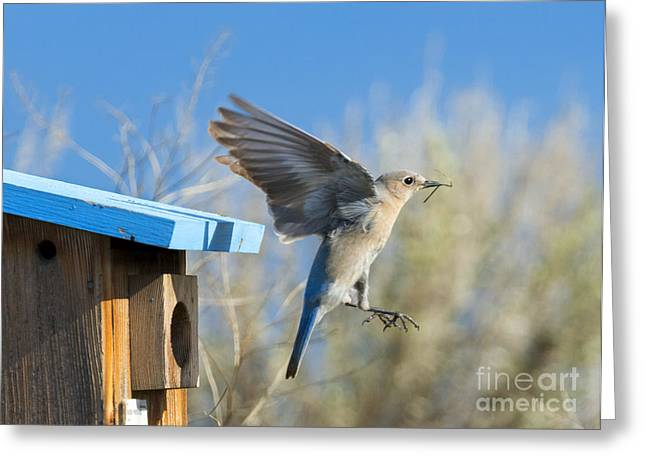 Bluebird Greeting Cards - Nest Builder Greeting Card by Mike Dawson