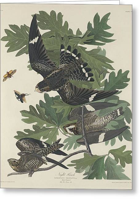 Night Hawk Greeting Cards - Night Hawk Greeting Card by John James Audubon