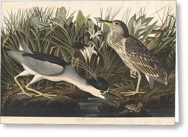Shorebird Greeting Cards - Night Heron or Qua Bird Greeting Card by John James Audubon