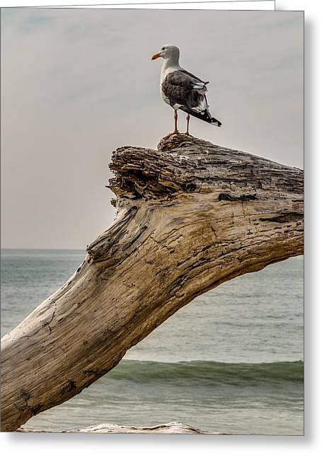 Seabirds Greeting Cards - Gull on Driftwood Greeting Card by Patti Deters