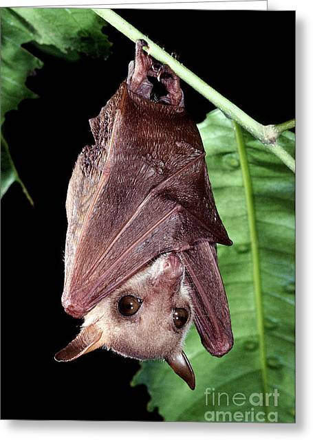Northern Blossom Bat Greeting Card by B. G. Thomson