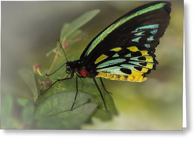 Biology Greeting Cards - Northern Butterfly Greeting Card by Penny Lisowski