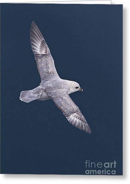 Recently Sold -  - Seabirds Greeting Cards - Northern Fulmar Greeting Card by Jean-Louis Klein & Marie-Luce Hubert