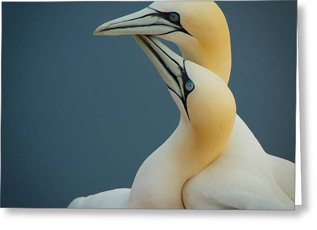Northern Gannet Greeting Card by Peter Chanet