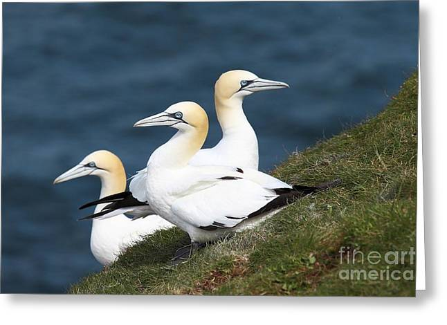 Northern Gannet Greeting Cards - Northern Gannets Breeding Greeting Card by Charlotte Main