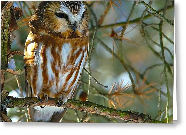Saw Greeting Cards - Northern Saw Whet Owl Greeting Card by Paul O