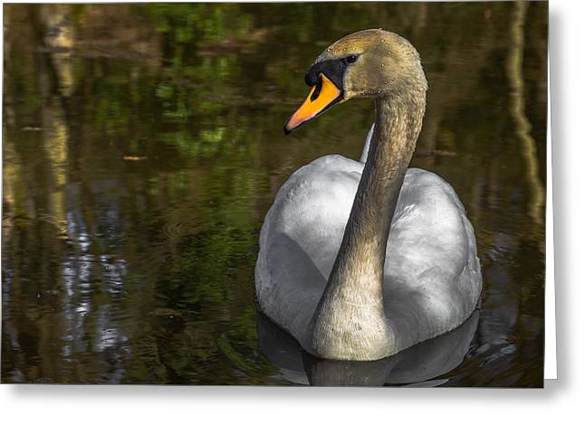Swans... Greeting Cards - Not so whiter than white Greeting Card by Chris Fletcher