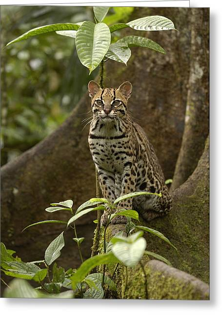 Forest Habitat Greeting Cards - Ocelot Leopardus Pardalis Standing Greeting Card by Pete Oxford