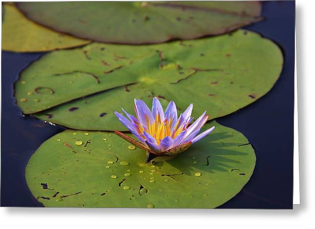 Aquatic Greeting Cards - Okavango Lily Pad- Limited edition- contact artist directly Greeting Card by Stacie Gary