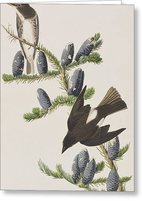 Calligraphy Print Greeting Cards - Olive sided Flycatcher Greeting Card by John James Audubon