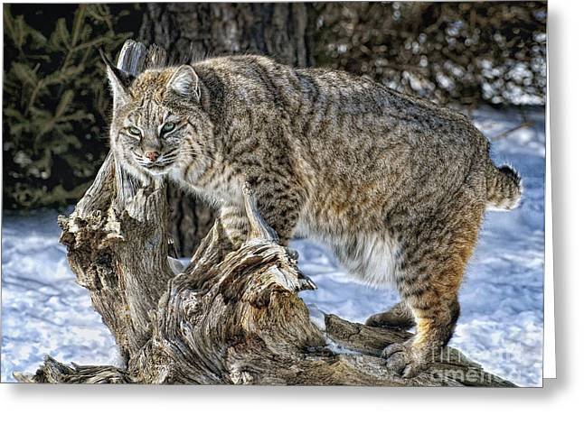 Bobcats Greeting Cards - On a Perch Greeting Card by Claudia Kuhn