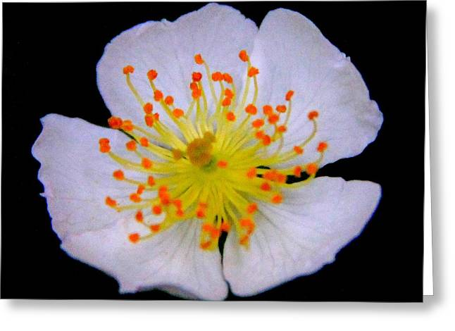 Indiana Flowers Greeting Cards - Orange Tips Greeting Card by Ed Smith